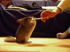 There are chinchilla tricks exclusive to your pet. Before teaching chinchilla tricks, you first have to ease your chinchilla in to you. Doing this may take a lot of effort and time. Allot at least 7 days before you even begin to handle training your chinc Diy Chinchilla Toys, Equador Quito, Baby Animals, Cute Animals, Pocket Pet, Hamster, Secret Life Of Pets, Little Critter, Pet Care Tips