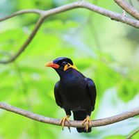 Myna birds are not traditional pets, but mynah enthusiasts love them for their trainability, antics and amazing gift for mimicry. Betta, Hawk Feathers, Eat Fruit, Starling, Pet Birds, Parrots, Cute, Animals, Tattoo Inspiration