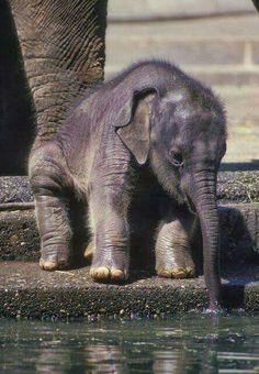 Baby elephants are so stinkin cute