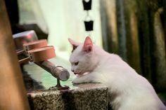 drinking cat