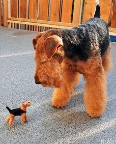 Welsh Terrier | milesandemma.com