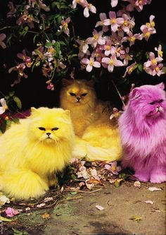Multicoloured Persians, Tim Walker i don't know if they were dyed, or if the photo was tinted.