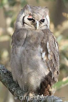 Giant Eagle Owl 1 - Photograph taken in Kruger National Park South Africa...