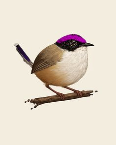 Purple-crowned Fairywren Fat Bird by Mike Mitchell