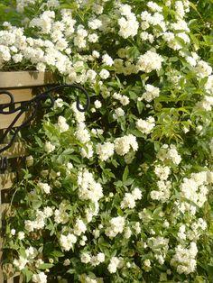 私が庭仕事をするようになって20年近く。子どものころのお手伝いの時期も含めたら何十年でしょうか。花を育てる以外にも、土地を借りて家庭菜園をしていたこともありました。 以前はガーデニングがブームで、興味のない人もつられて花を育てている感じでしたが、最近は好きな人や年寄り(私も含め)だけがやっている感じですね。 ▲今日のシロモッコウ。今が満開です。 ほかの人によく聞かれるのが、「一番楽な花は?」「水やりが面倒だけど?」などなど、面倒なことをできるだけ避ける技。 ガーデニングを本格的に始めたころ、園芸の教科書通りやっていた私に、ご近所の先輩から「もっと手抜きを覚えなさいよ」とアドバイスを受けたことも…