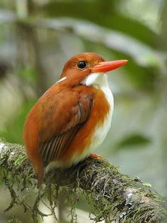 Madagascar Pygmy Kingfisher, by Steve Blain. Kingfisher birds are a group of small to medium sized brightly coloured birds that are found all over. Kinds Of Birds, All Birds, Little Birds, Love Birds, Pretty Birds, Beautiful Birds, Animals Beautiful, Exotic Birds, Colorful Birds