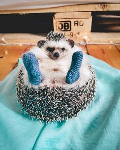 "Mr.Pokee the Hedgehog (@mr.pokee) sur Instagram : ""Thought you guys needed some extra cuteness, since today is Monday """