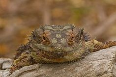 Want To Know About Eastern Bearded Dragons, Find Out Here Eastern Bearded Dragon, Bearded Dragon Diet, Pet Lizards, Reptiles, Mammals, 55 Gallon Aquarium, Savannah Monitor, Fat Tailed Gecko, Deadly Plants