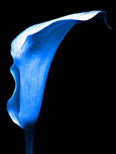 Blue Calla Lilly