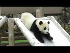 すべり台を華麗にすべる結浜!飼育員さんめがけてダッシュ! Giant Panda Yuihin♪ - YouTube Panda Gif, Panda Panda, Panda Bears, Cute Baby Animals, Animals And Pets, Wild Animals, Bear Pictures, Cool Pictures, Pandas Playing