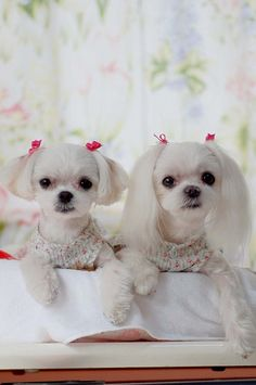 I like the one on the right for rajah. I think he would look good with a shorter top cut and longer ears....