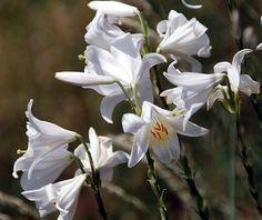 Fotos de flores: LILIUM CANDIDUM