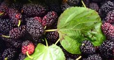 10 Amazing Health Benefits of Mulberries