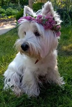 i love westies Westies, Westie Puppies, Cute Puppies, Dogs And Puppies, Chihuahua Dogs, Pet Dogs, Yorkies, Beautiful Dogs, Animals Beautiful