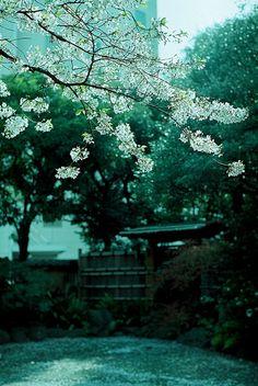 Cherry blossom,  Japan   by drsato60, via Flickr