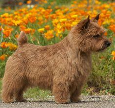 norwich terrier - Google Search