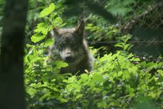 Le loup du Parc Zoo du Reynou