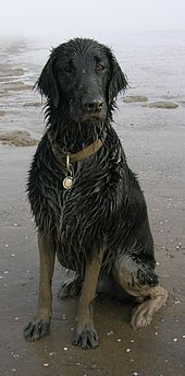 Flat-Coated Retriever - United Kingdom - Gundog
