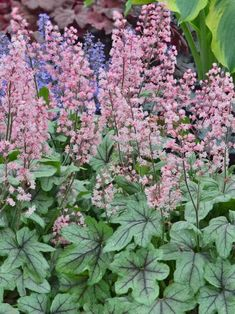 Heucherella Pink Fizz (Foamy Bells) A frothy fizz of frilly pink bells ascends each slender stem in dense clusters just above the deep lobes of soft green, lightly-silvered foliage. Each leaf vein is prominently etched in purple. A favorite that adds top-notch color and texture. A cross of Heuchera and Tiarella , this versatile perennial withstands heat and humidity and is an excellent groundcover. Learn more at: https://www.bluestoneperennials.com/HEFZ.html