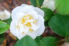 Beautiful white camellia flowering bush