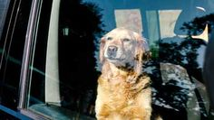 Dog 'furious' after do-gooders smash his car windows again
