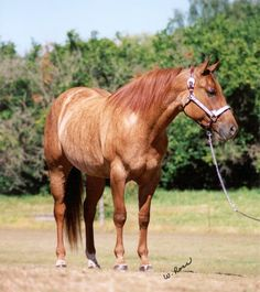 """Sharp One, or """"Salsa"""" is another rare brindle quarter horse. Salsa goes to local shows and produces babies. Her owners are attempting to produce more brindle horses."""