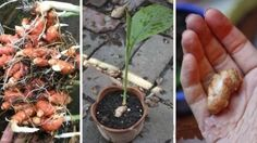 How to Grow an Endless Supply of Alkalizing, Anti-Inflammatory Ginger, Turmeric and Garlic at Home - Healthy Food House Ginger Rhizome, Bland Food, Growing Ginger, Hosta Gardens, Garlic Bulb, Fall Plants, Garden Plants, Natural Oils, Eating Clean