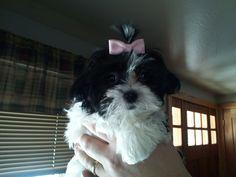 My baby Misha. Beautiful lil 'girl! Shih Tzu & Maltese