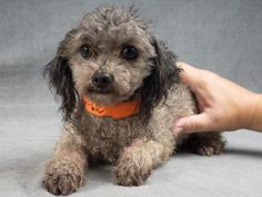 ●9•12•16 SL● Adopt Casey, a lovely 8 years Dog available for adoption at Petango.com. Casey…