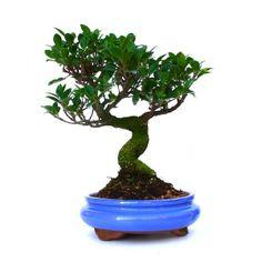 Vente de Bonsai Ficus Retusa 38 cm FR131206, Sankaly Bonsaï, Boutique en Ligne, Vente de Bonsaï et Accessoires. Acheter en Ligne