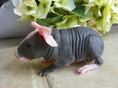 Skinny Pigs #lilpets