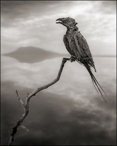 Calcified Songbird. © Nick Brandt 2013