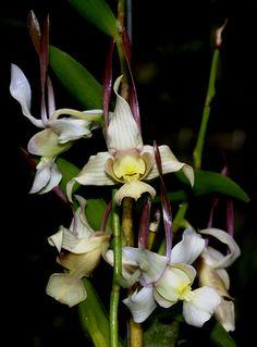 Dendrobium leporinum