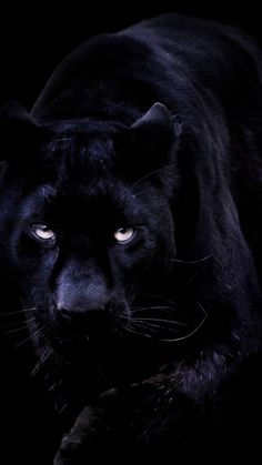 BLACK CAT BLUE EYES PANTHER PHOTO ART PRINT POSTER PICTURE BMP941A