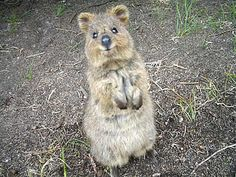 Hey there, let's be friends! OKAY! Quokkas- http://www.huffingtonpost.com/2013/01/07/quokka-happiest-animal-in-world_n_2426133.html