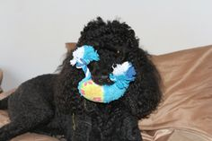 Poodle with a toy
