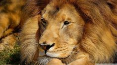 #1641249, lion category - High Resolution Wallpapers = lion image