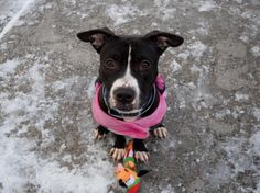 LARA - A1100965 - - Brooklyn  TO BE DESTROYED 01/13/17 **ON PUBLIC LIST** A volunteer writes: I first came upon Lara as she was waiting in the hallway for her cage to be cleaned. Although I was at the other end of the hallway, this happy little girl couldn't contain her excitement–the second she saw me, her tail was wagging and her body wiggling so fast that she spun herself in a few exuberant circles before I had even gotten to her! Happy and energetic does not