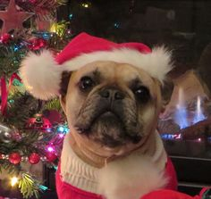 Merry Christmas From Roxy the French Bulldog