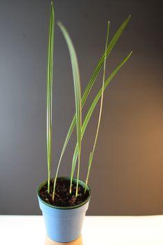 palmier dattier I Shop, Plants, Plant, Planets