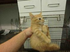 DORITO - A1642924 - URGENT - located at CITY OF LOS ANGELES SOUTH LA ANIMAL SHELTER in Los Angeles, CA - Male KITTEN Domestic SH