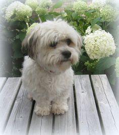 My lovely Boy hond Shih Tsu