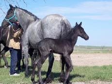 For Sale, Blue Roan 3/4 Friesian filly by Ice Man of www.ColorfulFriesians.com