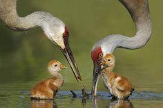 Presenting the Winners of Orange Audubon Society's 2008 Kit & Sidney Chertok Nature Photography Contest. Second Place: Sandhill Cranes & Chicks at Sanford, Florida by © Jim Urbach, Sanford, Florida, member Seminole Audubon Society, posted via miltonheiberg.com