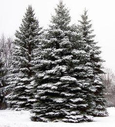 evergreens in snow