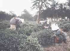 Women picking tea leaves by Tamamura Kozaburo | Inside the Chrysanthemum kingdom: 100-year-old photos show a still-medieval Japan on the eve of rush for modernity that ended in disaster of WW2. Pictures taken by Tamamura Kozaburo in 1910 were the first ever to be used to promote tourism in Japan