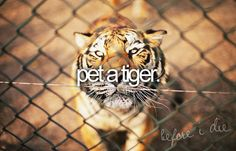 bucket list: pet a tiger