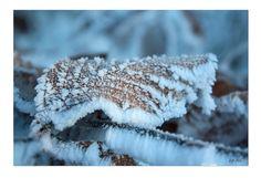 """*Deep frozen leaf*            Serie: WinterWonderLand   Bild 5 / Freihand ohne Makro Objektiv / Canon EOS 450 D / 05.01.2009   Persönliche Vorgabe mal wieder:   das natürliche Licht & Stimmung einzufangen und so wenig, wie möglich """"nachzuarbeiten"""" (Schärfe, Licht, Kontraste).   * ° * ° *   Beim Foto-Streifzug, bei schönstem Winterwetter entdeckt.  Für dieses Bild stand ich tief in einer Schneewehe... mit kalten Händen und Füßen.   Der Ast befand sich im Schatten. Ledigliche der kleine…"""