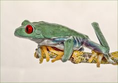 Photograph On the Edge by Val Saxby on Red Eyed Tree Frog, Reptiles And Amphibians, Tree Frogs, Animal Kingdom, Animals, It's Raining, Photography, Animales, Photograph
