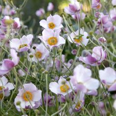 Herbst-Anemone 'Robustissima'